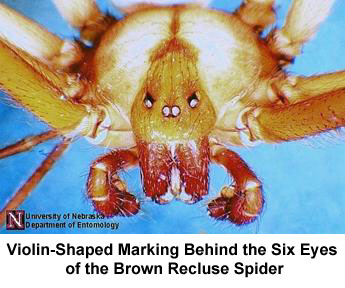 Brown Recluse and Black Widow Spiders | IDPH on iron man 2 map, blob map, brown widow map, captain america map, poison ivy map, widow spider map, black wolf map, minecraft spider-man map, vision map, stark expo map,