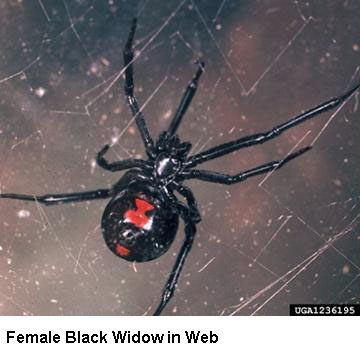 Brown Recluse And Black Widow Spiders Idph