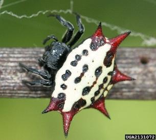 Spiders Idph