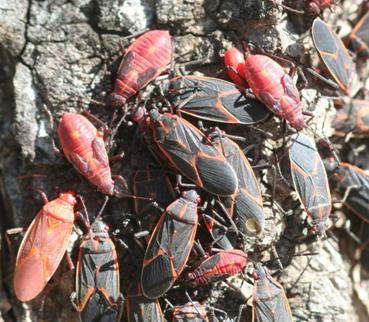Boxelder Bugs (adults and nymphs)