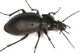 Occasional pest invaders ground beetle sciox Images