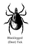 black legged (deer) tick